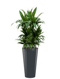 Dracaena Janet Craig + ronde hoogglans kunststof plantenbak D37xH70 (antraciet)