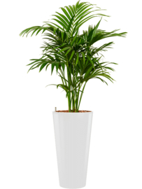 Kentia (Howea) forsteriana + ronde hoogglans kunststof plantenbak D37xH70 (wit)