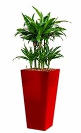 Dracaena Arturo (Drakenboom) + vierkante hoogglans kunststof plantenbak L35xB35xH70 (rood)