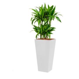 Dracaena Arturo (Drakenboom) + vierkante hoogglans kunststof plantenbak L35xB35xH70 (wit)