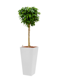 Ficus Benjamina Colummar + hoogglans kunststof plantenbak L35xB35xH70 (wit)