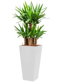 Yucca elephantipes + vierkante hoogglans kunststof plantenbak L35xB35xH70 (wit)
