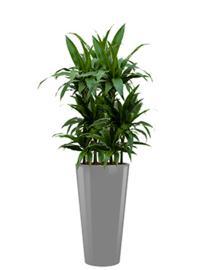 Dracaena Janet Craig + ronde hoogglans kunststof plantenbak L35xB35xH70 (zilver)