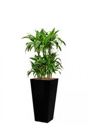 Dracaena Arturo (Drakenboom) + vierkante hoogglans kunststof plantenbak L35xB35xH70 (zwart)