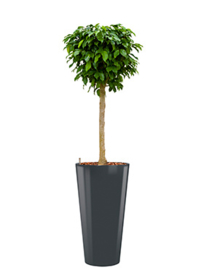 Ficus Benjamina Colummar + hoogglans kunststof plantenbak D37xH70 (antraciet)