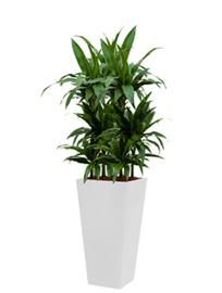 Dracaena Janet Craig + vierkante hoogglans kunststof plantenbak L35xB35xH70 (wit)