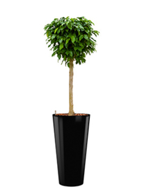 Ficus Benjamina Colummar + hoogglans kunststof plantenbak D37xH70 (zwart)