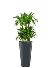 Ronde hoogglans kunststof plantenbak D37xH70  (antraciet) + Dracaena Arturo (Drakenboom)