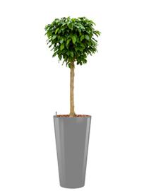 Ficus Benjamina Colummar + hoogglans kunststof plantenbak D37xH70 (aluminium)