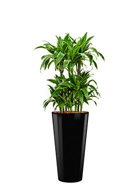 Ronde hoogglans kunststof plantenbak D37xH70  (zwart) + Dracaena Arturo (Drakenboom)