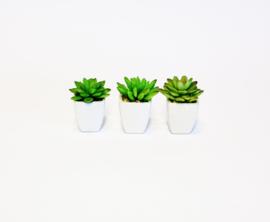 Vetplantjes in potje 3 stuks
