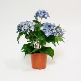 Kunst Hortensia - Blauw