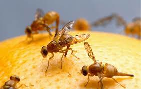 Middelen tegen fruitvliegjes