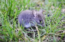 Middelen tegen muizen