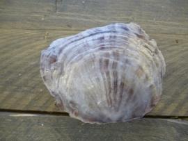 Placuna schelp