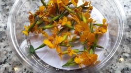 Anise blossom / Geel | | Koppert Cress | teelt: schoon | 2 x bakje 50stuks