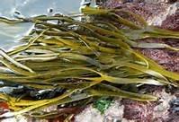 Zeewier / Gezouten zeewieren / Spaghetti / Zeespaghetti / Biologsich - Bretagne / bakje 100gram / t.h.t. 13-04-2020