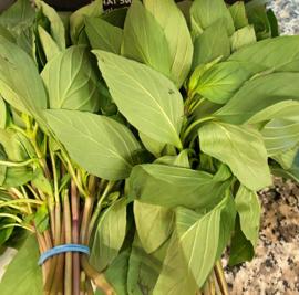 Basilicum / Thaise basilicum / Anijsachtig van geur - Israel / bosje 50gram