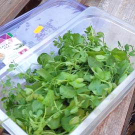Salad Pea | Koppert cress - NL | Bakje 110gram