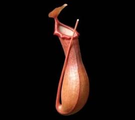 Venus vaasje -Niet eetbaar-/ Venus Vase / Koppert - Nederland /  2x4 stuks