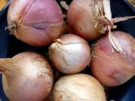 Roscoff uien / Roze zoete uien / Frankrijk  / 1 kilo