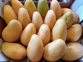 Mango Ataulfo / Nam dok Mai / Manilla mango / Honingmango / teelt: biologisch / Ecuador / 1 stuks