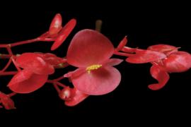 Apple blossom | Oranje-rood | Koppert cress - Nl | 2x bakje 100stuks