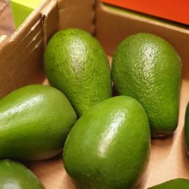 Avocado  / soort: Fuerte / Onrijp / Peru / 2 stuks (ca 2x250gram)