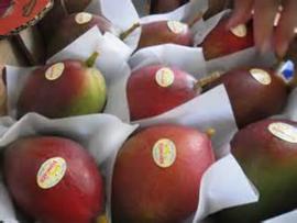 Mango Palmer / teelt: regulier / Brazilie / per doos 7stuks (ca.4kg)
