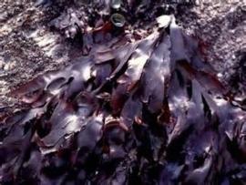 Zeewier / Gezouten zeewieren / Zeewier Dulse / Biologsich - Bretagne / bakje 100gram / t.h.t. 21-01-2020