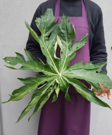 Papaja blad / Verse papaya bladeren / Nederland (kas) / teelt: biologisch / 5 stuks bladeren