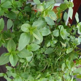 Basilicum / Thaise basilicum / teelt: regulier / Israel / bosje 50gram