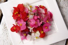 begonia /eetbare bloemen / schoon geteeld - Israel / 4 bakjes (ca. 70 stuks)