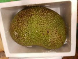 Jackfruit vers / Nangka whole fresh fruit / Cempedak | teelt: regulier /  Thailand /  1 stuks (let op:ca 8-10 kilo!)