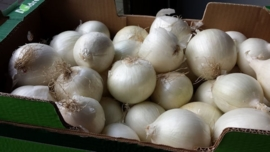 Uien wit | Cipolle bianchi /  Uien wit/ Witte uien  / Italië / Teelt: regulier / 500gram
