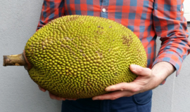 Jackfruit vers / Nangka whole fresh fruit / half rijp / Cempedak | teelt: regulier/  Thailand /  1 stuks (ca 8 KILO)  / tijdelijk geen levering vanwege corona crisis