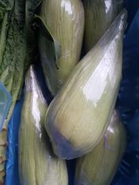 Mais | Suikermais wit | Peruaanse mais | witte zoete mais | teelt: regulier - Peru | per kolf