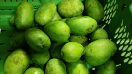 MANGO GROEN |  SWEET GREEN MANGO | MANGIFERA INDICA | Thailand | doos 5 kilo (ca 13-15 stuks)