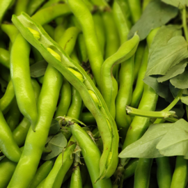 Tuinbonen / tuinboon / maat: klein / teelt: Regulier-Italie / 1 kilo