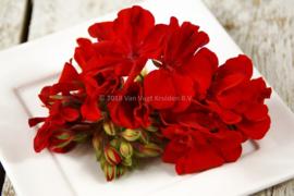 Geranium / eetbare bloemen/ schoon geteeld - Israel / 4 bakjes (ca. 25 stuks)