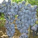 blauwe druiven / Uva nera / Palieri / Puglia-Italië / 500gram