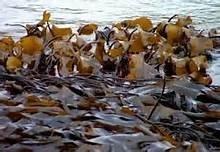 Zeewier / Gezouten zeewieren / Kombu Royal / biologisch- Bretagne / bakje 100gram / t.h.t. 30-11-2019