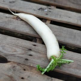 Rettich | daikon | Witte ramanas | teelt: regulier - Italië | 1 st. (ca. 1000gr)