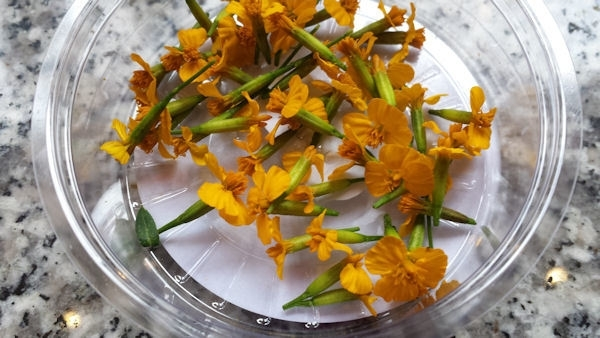 Anise blossom / Geel     Koppert Cress   teelt: schoon   2 x bakje 50stuks