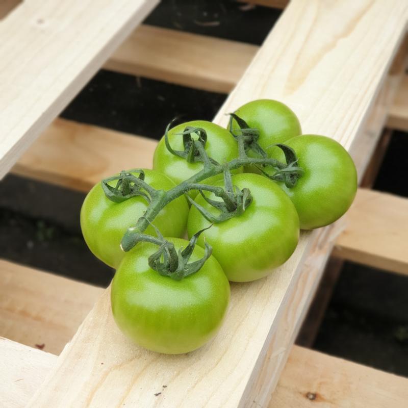TROSTOMATEN GROEN | GROENE TROS TOMATEN | SPANJE | Doos 5 kilo