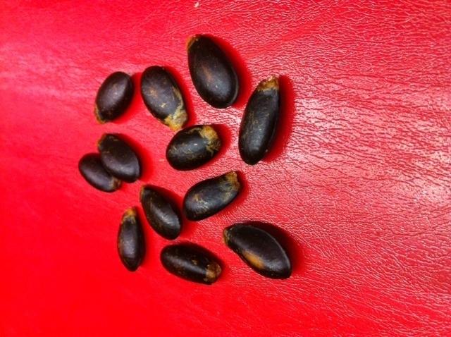 Guanabana / Zuurzak zaden / Sorsakka / Soursop seeds / Graviola zaden / herkomst Ecuador / 12 stuks