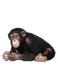 Kek Amsterdam Muursticker - Chimpansee (MS-032)