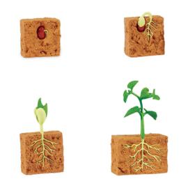 Safari Levenscyclus - Bonenplant