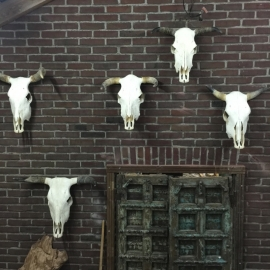 cow skulls/ koeien schedel /buffel  , 55cm hoog.