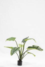 Alocasia plant 91cm